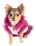 Chihuahua Wearing Furry Coat Looking Up