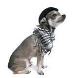 Chihuahua wearing a hat looking up Stock Photography
