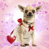 Chihuahua wearing a lace dress and fancy collar, on heart background. 4 years old royalty free stock photo