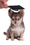 Chihuahua wearing mortar board hat for graduation Royalty Free Stock Image