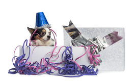 Chihuahua wearing a party hat in a present box with streamers Stock Image
