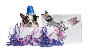 Chihuahua wearing a party hat in a present box Royalty Free Stock Photo
