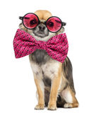 Chihuahua wearing round glasses and a bow tie Stock Image