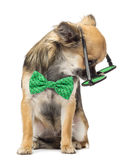 Chihuahua wearing round glasses and a bow tie Stock Photo