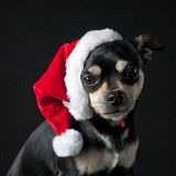 Chihuahua wearing Santa Hat Stock Photo
