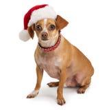 Chihuahua wearing santa hat Stock Image