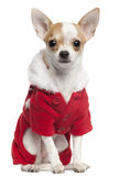 Chihuahua wearing Santa outfit, 2 and a half Royalty Free Stock Photos