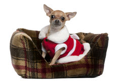 Chihuahua wearing Santa outfit, 25 months old Stock Image