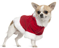 Chihuahua wearing Santa outfit, 3 years old Royalty Free Stock Photography