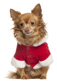 Chihuahua wearing Santa outfit, 8 years old Royalty Free Stock Photos