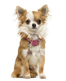 Chihuahua wearing a shiny collar, sitting, 7 months old Royalty Free Stock Images