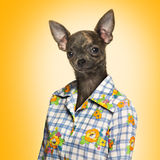 Chihuahua wearing a shirt on yellow background Stock Image