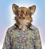 Chihuahua wearing a spotted shirt on colored background Royalty Free Stock Image