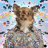 Chihuahua wearing a spotted shirt on a spotted background Royalty Free Stock Photos
