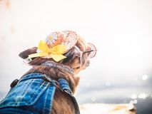Chihuahua wearing straw hat, sunglasses and denim overalls enjoys sun on the river bank . Cute little doggie takes sun. Baths outdoor. A fashionably dressed stock photography