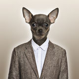 Chihuahua wearing a suit on a beige background Stock Image