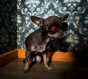 Chihuahua wearing sunglasses Stock Photography