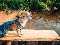Chihuahua wearing sunglasses and denim overalls enjoys nature. Cute little doggie takes sun baths outdoor Royalty Free Stock Photos