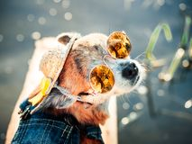 Chihuahua wearing sunglasses and denim overalls enjoys sun. Cute little doggie takes sun baths outdoor Stock Photography