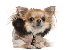 Chihuahua wearing sweater, 3 years old, lying. In front of white background Royalty Free Stock Images