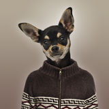 Chihuahua wearing a sweater on brown background Royalty Free Stock Photo
