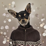 Chihuahua wearing a sweater on spotted background Royalty Free Stock Photography