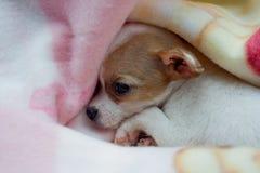 Chihuahua-Welpe lizenzfreies stockfoto