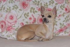 Chihuahua-Welpe, der auf Rose Patterned Fabric stützt lizenzfreie stockbilder