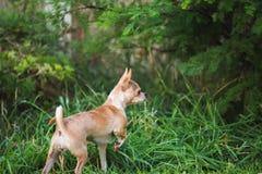 Chihuahua-Welpe, der draußen erforscht Lizenzfreie Stockbilder