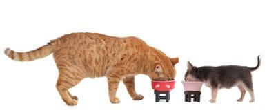 Chihuahua-Welpe und Kätzchen essen ihre Mahlzeit lizenzfreies stockfoto
