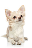 Chihuahua on a white background Royalty Free Stock Images