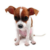 Chihuahua. On white background Royalty Free Stock Photo