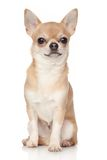 Chihuahua Royalty Free Stock Photo