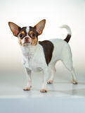 Chihuahua on a white background Stock Images