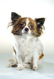Chihuahua on a white background Stock Photo