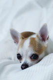 Chihuahua on the white bed. Alone Royalty Free Stock Photo
