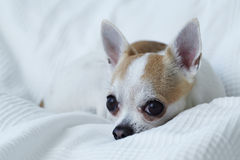 Chihuahua on the white bed. Alone Royalty Free Stock Image