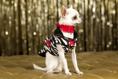 Chihuahua white dog. With red collar Stock Photography