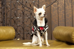 Chihuahua white dog in clothes. Chihuahua short hair white dog in designer clothes Royalty Free Stock Photography