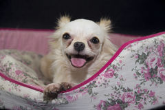 Chihuahua White. Chihuahua is drenched with a lovely gentle perverse Royalty Free Stock Photos