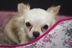 Chihuahua White. Chihuahua is drenched with a lovely gentle perverse Royalty Free Stock Images