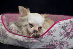 Chihuahua White. Chihuahua is drenched with a lovely gentle perverse Royalty Free Stock Image