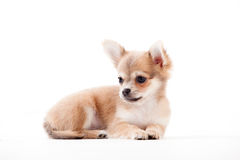 Chihuahua on white. Happy dog photographed in the studio on a white background stock photos