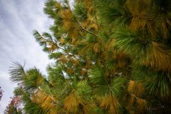 Autumn Chihuahua Pine with Yellow and Green Needles royalty free stock photo