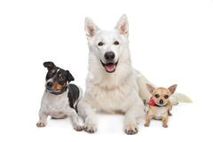 Chihuahua,white shepherd and a jack russel terrier Stock Photo