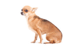 Chihuahua on white sitting. Happy dog photographed in the studio on a white background stock photo