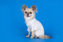 Chihuahua in a white sweater on a blue background Stock Image