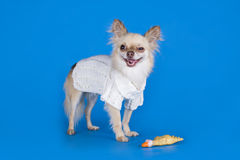 Chihuahua in a white sweater on a blue background Stock Images