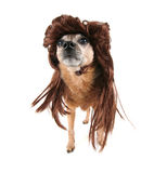 A chihuahua with a wig on Royalty Free Stock Photos