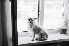 Chihuahua on the window royalty free stock image